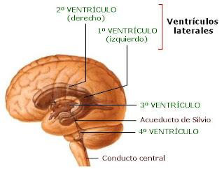 Ubicación de los ventrículos cerebrales