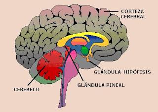 ubicación de la glándula hipófisis y pineal