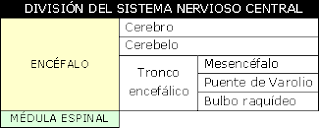 división del sistema nervioso central