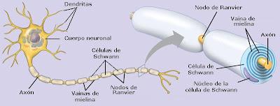 nodo de Ranvier