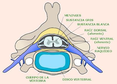 médula espinal y nervios raquídeos