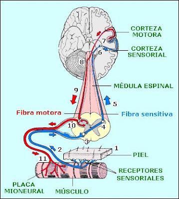 Circuito cerebromuscular