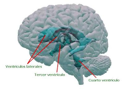 Disposición de los ventrículos cerebrales