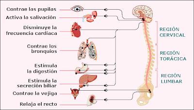 Efectos de la estimulación parasimpática
