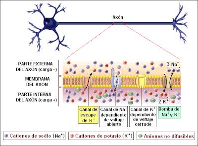 Neurona despolarizada (potencial de acción)