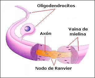 Los oligodendrocitos son células más pequeñas que los astrocitos y con menor cantidad de prolongaciones. Cada prolongación envuelve en forma de espiral a un axón diferente, con lo cual cada célula rodea a varias fibras vecinas.