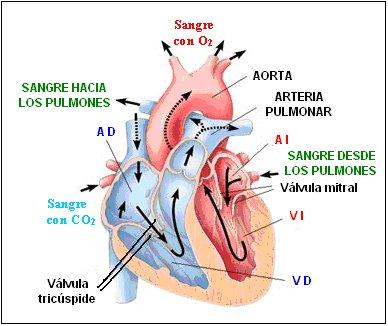 Enfermeria: ANATOMIA Y FISIOLOGIA DEL SISTEMA CARDIOVASCULAR
