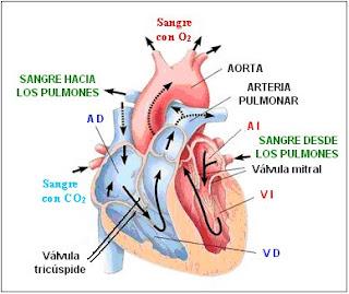 circulación intracardíaca de la sangre