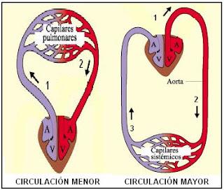 circulación mayor y menor de la sangre