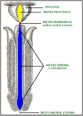 Sección longitudinal de la uretra masculina