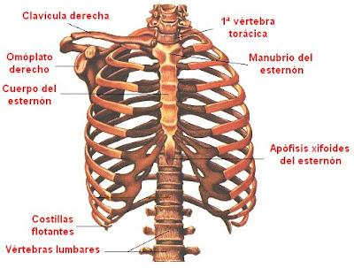 huesos de la cavidad torácica