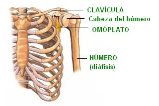 huesos que conforman la articulación del hombro