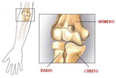 huesos que conforman la articulación del codo