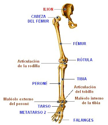Extremidad inferior derecha y cintura pelviana