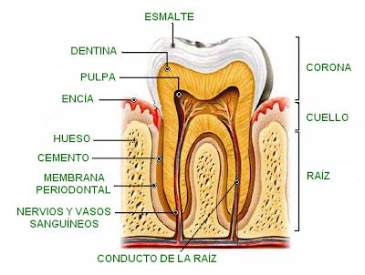 partes de un molar