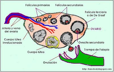 Esquema del desarrollo de los folículos ováricos