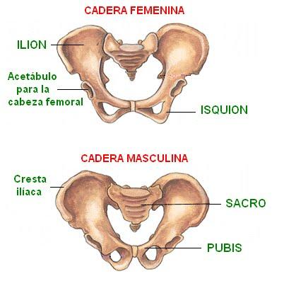 Huesos de la cadera del gato - Imagui