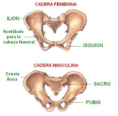 huesos de la cadera femenina y masculina