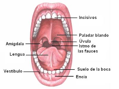 cavidad bucal y sus componentes