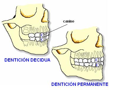 denticiones del humano