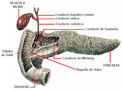 El páncreas vierte el jugo pancreático al duodeno a través de dos conductos: -Conducto de Wirsung (principal): desemboca junto al colédoco. -Conducto de Santorini (rama del principal): desemboca a 3 cm por encima del anterior.