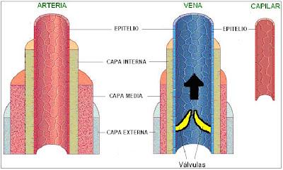 capas de los vasos sanguíneos