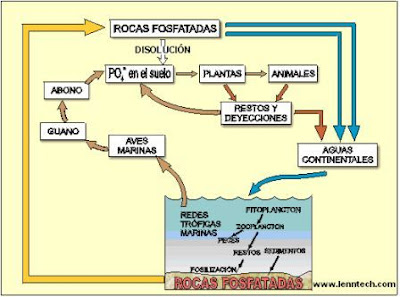 diagrama del ciclo del fósforo