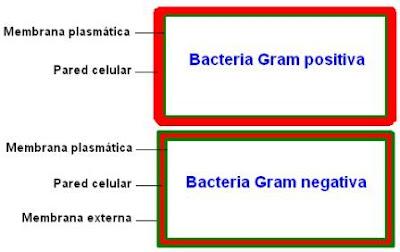 bacteria Gram positiva y Gram negativa