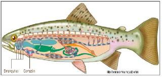 circulación de sangre en los peces