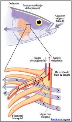 respiratorio sistema en los peces