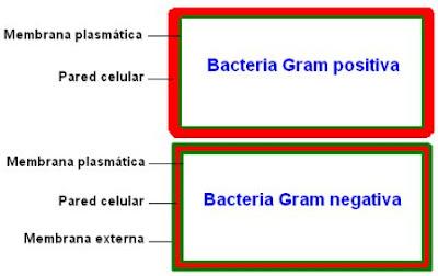 Esquema de una bacteria Gram positiva y de una Gram negativa