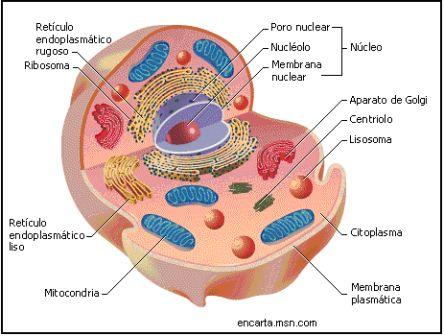 Esquema de una célula eucariota animal, organelas de una célula