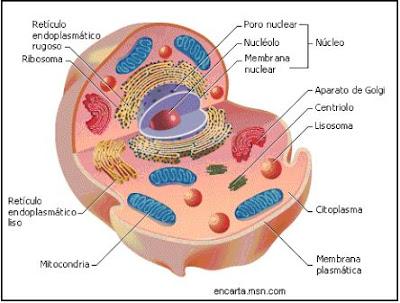 Esquema de una célula eucariota animal, organelas de una célula animal
