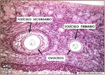 Microfotografías de un corte de ovario
