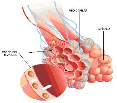 Pared del alvéolo pulmonar