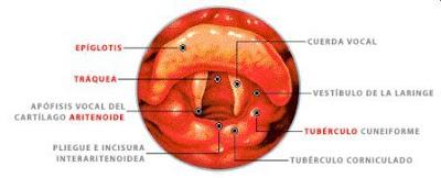 cuerdas vocales separadas, posición de respiración