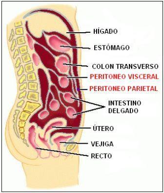 Disposición de las capas del peritoneo