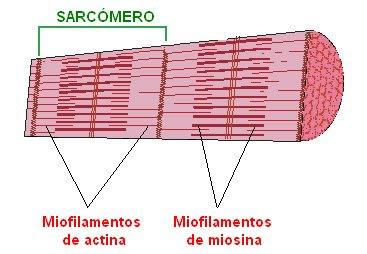 Estructura de una miofibrilla