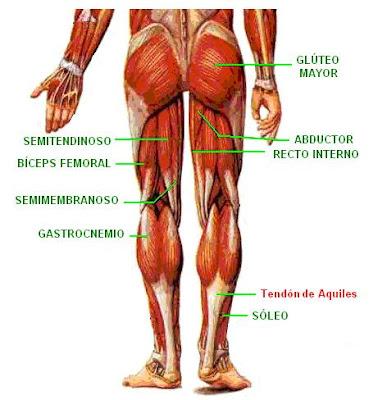 músculos de la extremidad inferior