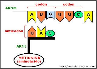 Uno de los lados del ARNt transporta un triplete de bases llamado anticodón. En el otro lado se une un aminoácido, proceso que demanda gasto de energía por transformación de adenosin trifosfato (ATP) en adenosin monofosfato (AMP).