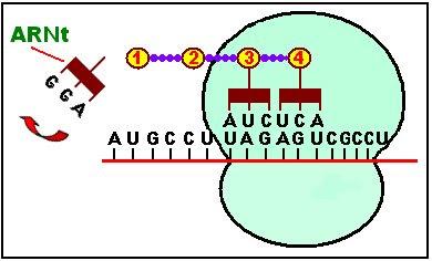 Un cuarto ARNt llega con su aminoácido hasta el ribosoma para acoplarse con el codón UCA del ARNm. La secuencia se repite tantas veces como aminoácidos tenga la futura proteína.