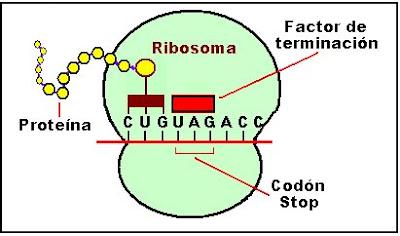 La etapa final de la síntesis de proteínas continúa hasta que aparecen los llamados codones stop o de terminación, representados por UUA, UAG y UGA. No existen anticodones complementarios para los codones stop.