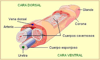 Estructuras internas del pene