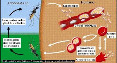 Ciclo biológico de Plasmodium sp.