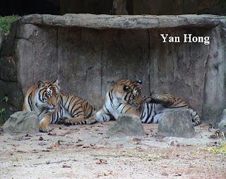 马来亚老虎