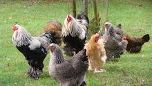 Bilder från hönsgården