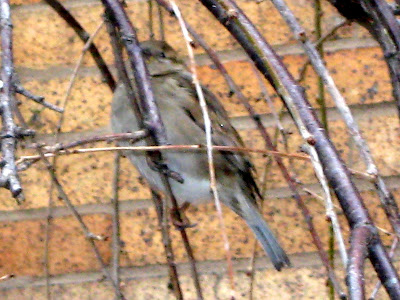 Sparrows in the family Passeridae