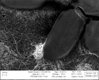 Caption: Acid-Treated Nanotubes Interact with E. Coli for 15.5 Days. Credit: Rensselaer Polytechnic Institute, Usage Restrictions: None.