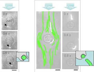 Nanospheres in flow are readily captured non-specifically by cells, as imaged in single particle fluorescence (left). In contrast, flexible nanocylinders 'go with the flow' and evade such capture (right), allowing the drug-laden filaments to target specific sites of disease. Image Credit: Dennis E. Discher, PhD, University of Pennsylvania School of Medicine.