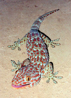 Description: Tokay Gecko (Gekko gecko), Location: Vang Vieng, Laos, Source self made by Richard Ling, Date 1 June 1998